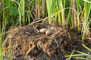 nesting loon eggs