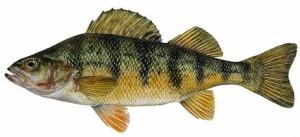 yellowperch (1)