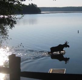 moose cropped